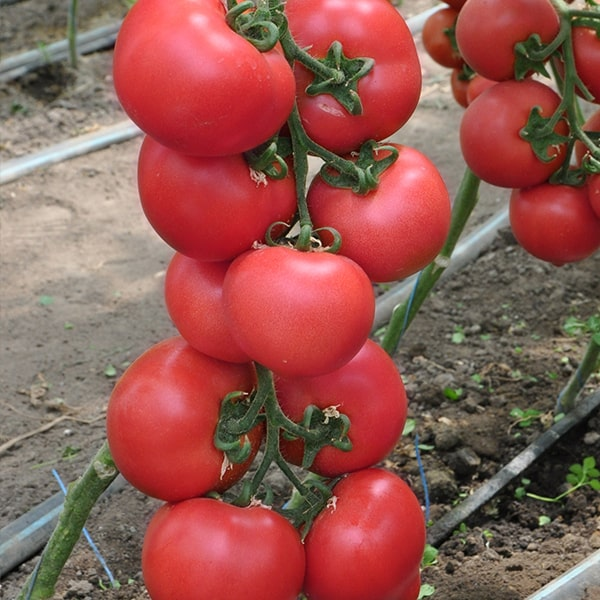 Pink Paradise помидоры семена купить