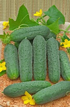 Фото-семена Огурец  Пасамонте (Pasamonte) F1