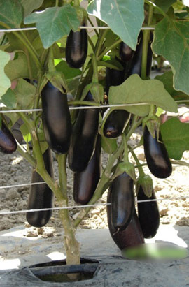 Фото-семена Баклажаны Миледа F1 (ферм. пакет)