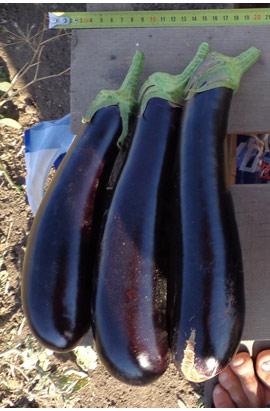 Фото-семена Баклажаны Вернал F1 (ферм. пакет)