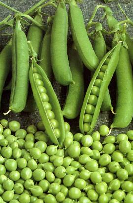 Фото-семена Горох Альфа (ферм.пакет)