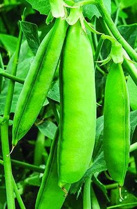 Фото-семена Горох Грунди (Hrundi )