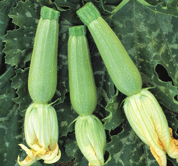 Фото-семена Кабачки  Искандер F1 (ферм.пакет)