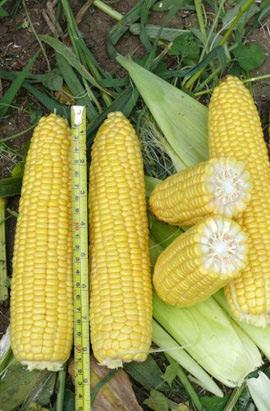 Фото-семена Кукуруза сахарная Трофи (Trophy) F1