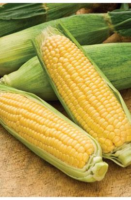 Фото-семена Кукуруза сахарная Сигнет (Signet) F1