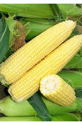 Фото-семена Кукуруза сахарная Бостон (Boston) F1
