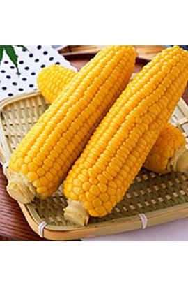 Фото-семена Кукуруза сахарная Старшайн (Starshine) F1
