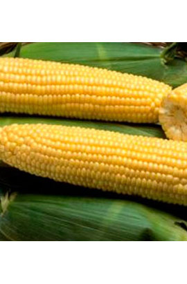 Фото-семена Кукуруза сахарная Шайнрок (Shinerock) F1