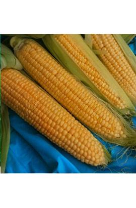 Фото-семена Кукуруза сахарная Спирит (Spirit) F1 (Суперранняя)