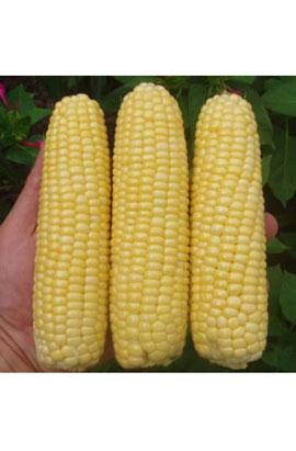 Фото-семена Кукуруза сахарная Леженд F1 (Legend F1)