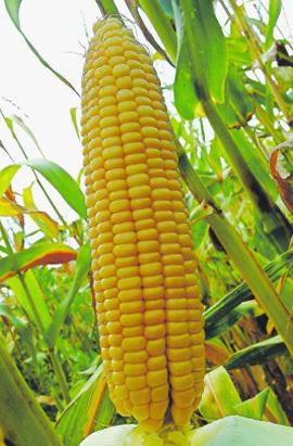 Фото-семена Кукуруза сахарная Веге-1 F1 (суперранняя)