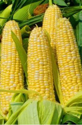 Фото-семена Кукуруза сахарная Деликатесная