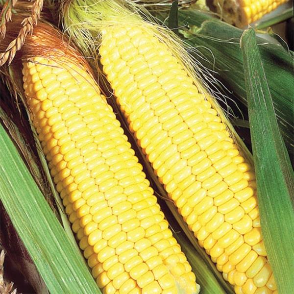 Фото-семена Кукуруза сахарная Ранняя Золотая
