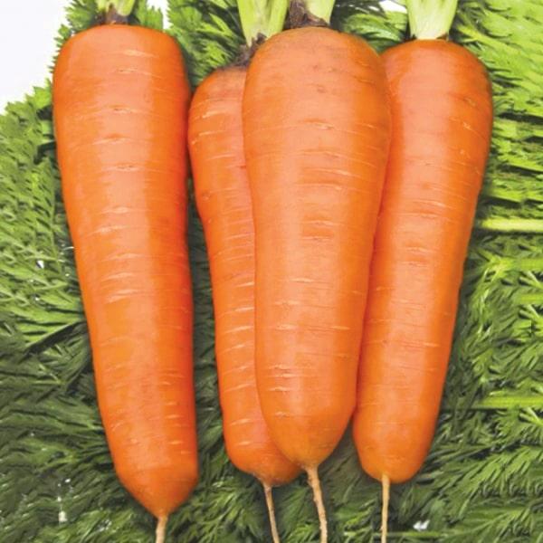 Фото-семена Морковь Шантане (Shantane)