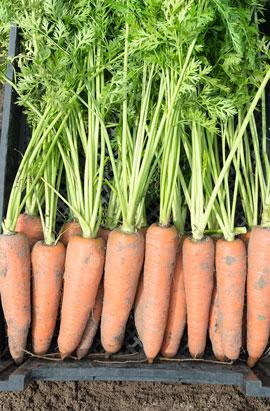 Фото-семена Морковь  Канада F1 (precision seeds 1,8-2,00 мм)