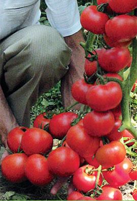 Фото-семена Томаты Айвенго F1 (Ivanhoe RZ F1)