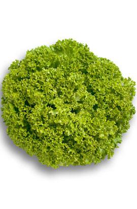 Фото-семена салат Левистро (Levistro RZ) драж.