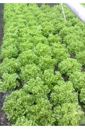 Фото-семена салат Фристина