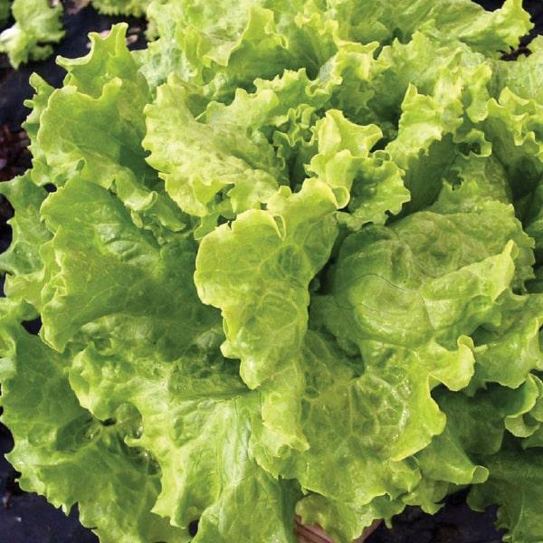 Фото-семена салат Афицион (Aficion RZ) драж.