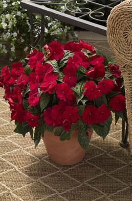 Фото-семена Бальзамин Новогвинейский Florific® F1 Red