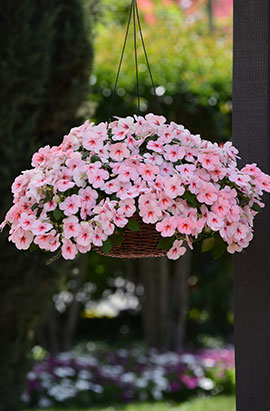Фото-семена Бальзамин Уоллера Impreza® Cherry Splash