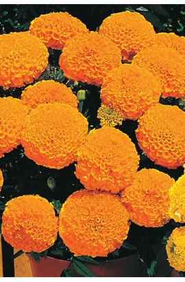Фото-семена Бархатцы  Antigua F1 Orange
