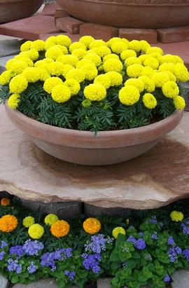 Фото-семена Бархатцы  Discovery™ F1 Yellow