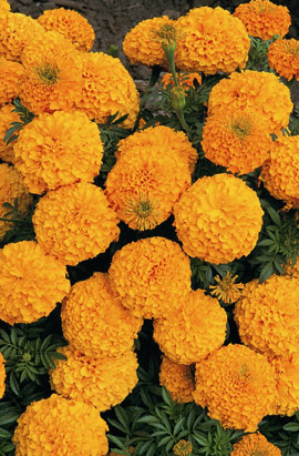 Фото-семена Бархатцы  Discovery™ F1 Orange