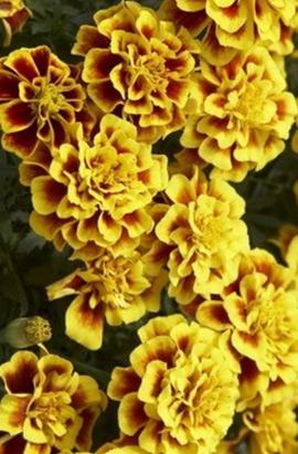 Фото-семена Бархатцы  Safari Yellow Fire(!!!!Победитель выставок)