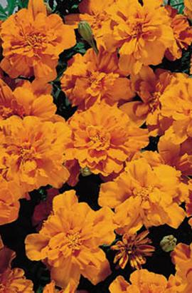 Фото-семена Бархатцы  Safari Tangerine
