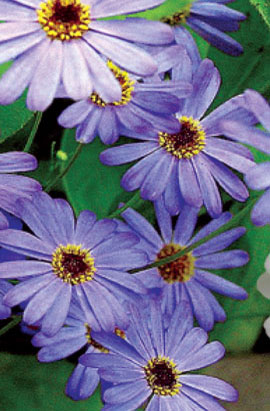 Фото-семена Брахикома Голубой огонек
