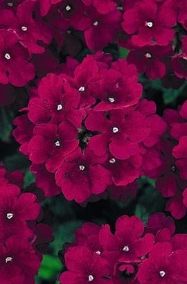 Фото-семена Вербена гибридная QUARTZ XP Burgundy