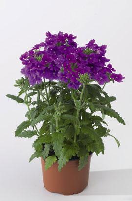 Фото-cемена Вербена гибридная Obsession® F1 Lavender
