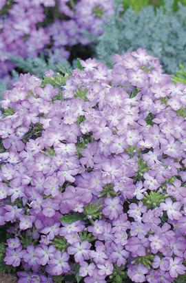 Фото-семена Вербена гибридная Tuscany F1 Lavender Picotee