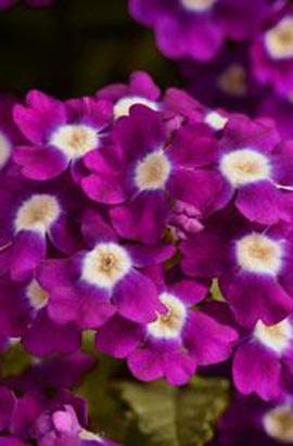 Фото-семена Вербена гибридная QUARTZ XP Violet with Eye
