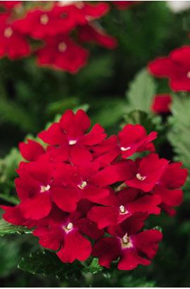 Фото-cемена Вербена гибридная Obsession® F1 Red