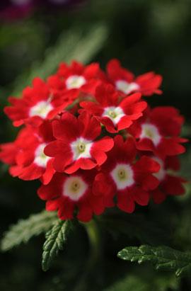 Фото-семена Вербена гибридная QUARTZ XP Red with Eye