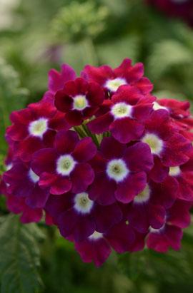 Фото-семена Вербена гибридная QUARTZ XP Burgundy with Eye