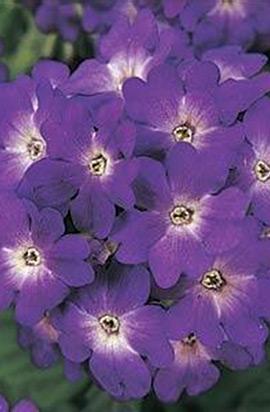 Фото-семена Вербена гибридная QUARTZ Blue