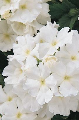 Фото-семена Вербена гибридная QUARTZ XP White