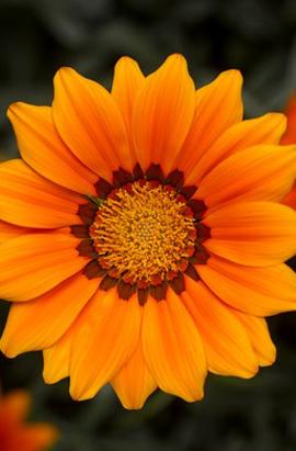 Фото-семена Газания  Frosty Kiss F1 Orange