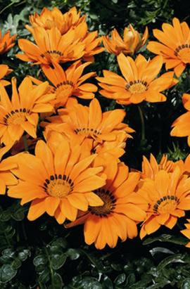 Фото-семена Газания  Kiss F1 Orange