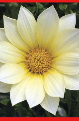 Фото-семена Газания  Gazoo® F1 Clear Vanilla