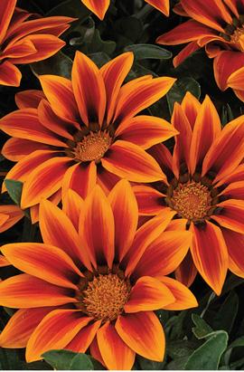 Фото-семена Газания  Kiss™ F1 Orange Flame