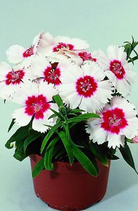Фото-семена Гвоздика китайская  Диана F1 (Diana) Red-centered-White