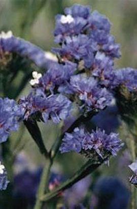 Фото-семена Кермек(статица) Qis Blue Pale (на срезку)