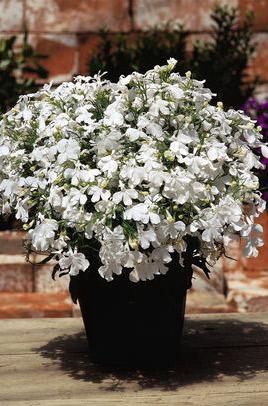 Фото-семена Лобелия Riviera White (Multi Pelleted)