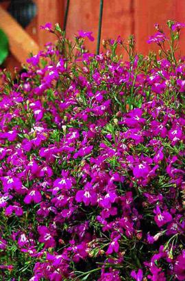 Фото-семена Лобелия Riviera Rose  (Multi Pelleted)