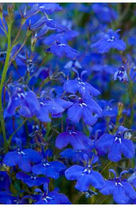 Фото-семена Лобелия Cobalt  F1 Вlue (Multi Pelleted)