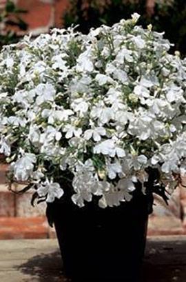 Фото-семена Лобелия ампельная Regatta White (Multi Pelleted)